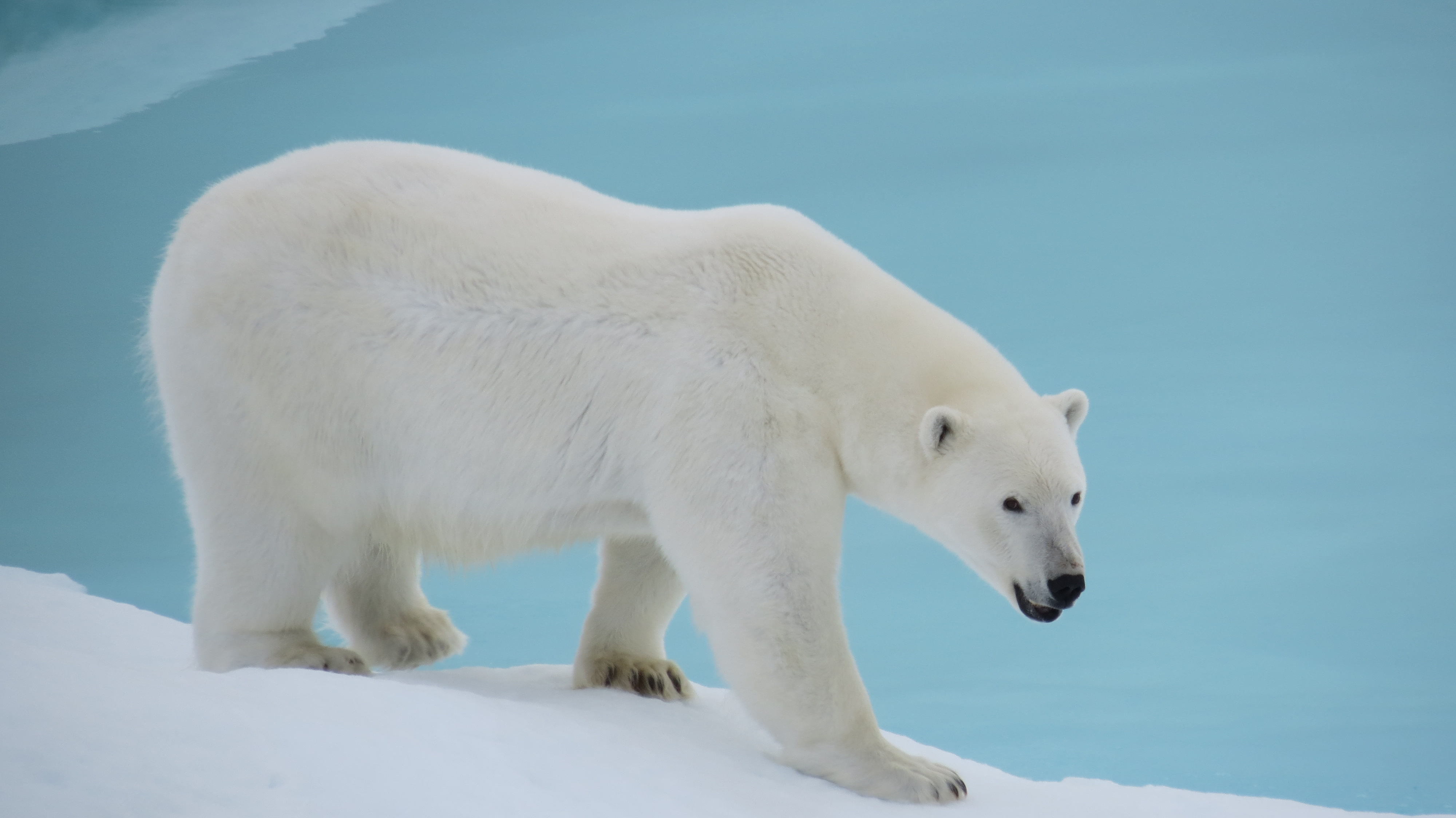 Save The Polar Bear!