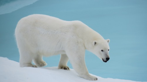 Polar bear as seen in Kennedy Channel on Aug.-12, 2012. [Photo Credit: Kirk McNeil, Labrador from aboard the Canadian Coast Guard Ship Henry Larsen]