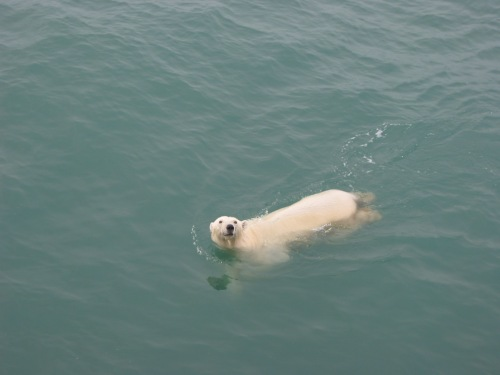 Polar Bear seen Oct.-10, 2003 from aboard the USCGS Healy to the north-east of Alaska [Credit: Andreas Muenchow, University of Delawarel]