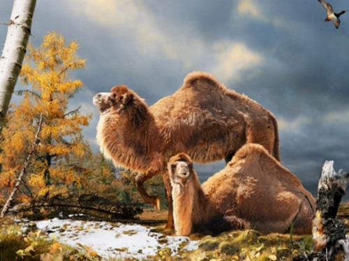 Illustration of the High Arctic camel on Ellesmere Island during the Pliocene warm period, about three and a half million years ago. [Credit: Julius Csotonyi/Canadian Museum of Nature]