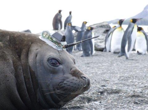 Elephant seal off Antarctica with ocean sensor transmitting data via satellite [Credit Lars Boehme]